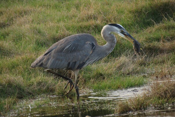 A great blue heron with a captured vole at Malibu Lagoon in 2012, before restoration work began.