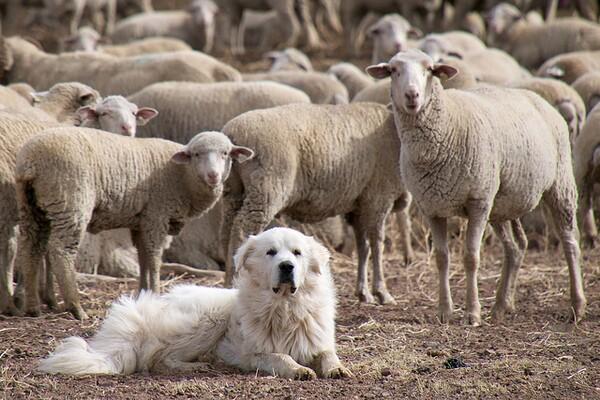 sheepdog2-9-29-14-thumb-600x400-81413