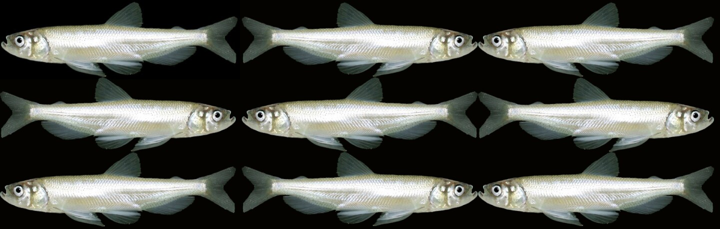 Longfin smelts | Original photo: U.S. Bureau of Reclamation