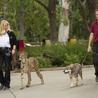 Handlers walking a cheetah and a dog at the San Diego Safari Park. | Taken March 25, 2020 by Tammy Spratt/San Diego Zoo