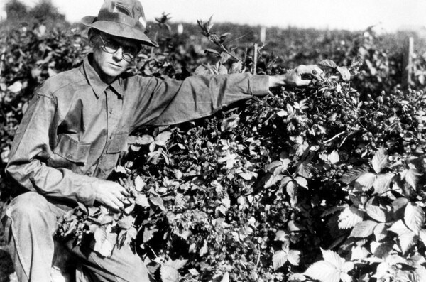 Farmer Walter Knott strikes a serious pose with his berries in 1948. Photo courtesy of the Orange County Archives.