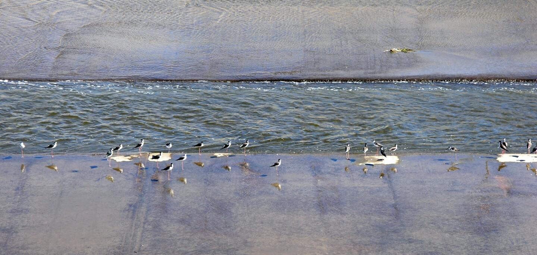 Los Angeles River - Shore Birds