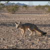 Desert-kit-fox-2014-01-28-thumb-600x404-67662
