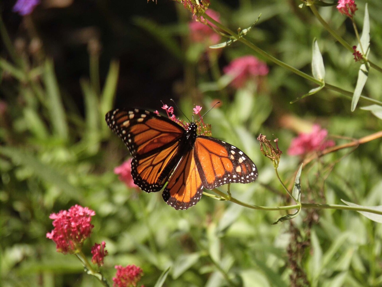 A butterfly at the Conejo Valley Botanic Garden   Sandi Hemmerlein