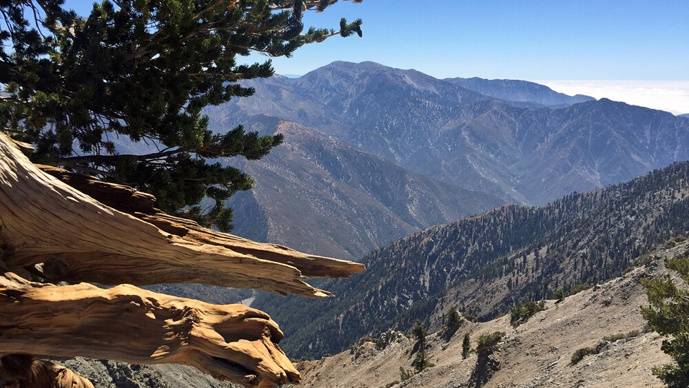 """Mount Baldy from the """"Wally Waldron"""" tree, a 1,500-year-old limber pine 