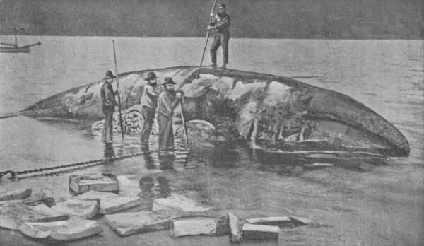 whale-oil-flensing