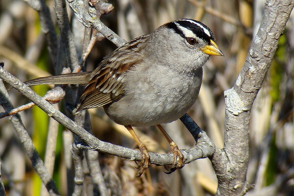 white-crowned-sparrow-7-9-14-thumb-600x400-77145